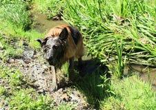Brun och svart hund - tysk herde i gyttja fotografering för bildbyråer
