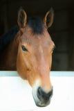 Brun och vit häst i stall Arkivfoton