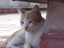 Brun och vit katt för meditation Arkivfoto