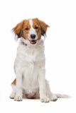 Brun och vit Kooiker hund Arkivbild