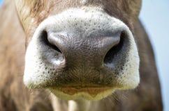 Brun och vit kos näsa Royaltyfri Fotografi