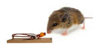Brun och vit mus som sniffar ost i fastställd fälla arkivfoton
