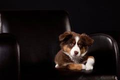 Brun och vit valp på en svart stol Fotografering för Bildbyråer