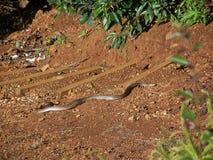 Brun orm Fotografering för Bildbyråer