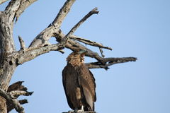 Brun orm Eagle Arkivfoto