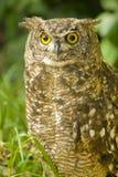 brun owl Arkivfoto