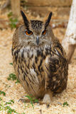 brun owl Arkivbilder