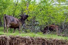 Brun oxe som tuggar och söker efter fara, Bulgarien arkivfoton
