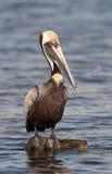 brun pelikan Arkivbilder