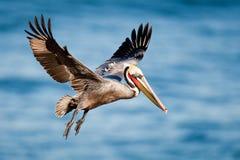 brun pelikan Royaltyfri Bild