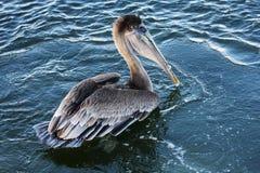 brun pelikan Royaltyfri Foto
