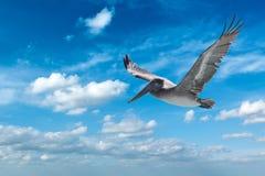 brun pelikan Royaltyfri Fotografi