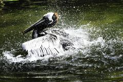 brun pelikan Arkivfoton
