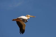 brun pelikan Arkivfoto