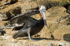 Brun pelikan, Bruine Pelikaan, Pelecanusoccidentalis royaltyfri bild