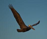 brun pelikan för flyg 2 Fotografering för Bildbyråer