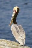 brun pelikan för Kalifornien occidentalispelecanus Royaltyfri Foto