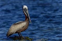 Brun pelikan, florida tangenter Fotografering för Bildbyråer