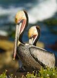 Bruna pelikan, La Jolla, Kalifornien Royaltyfri Fotografi