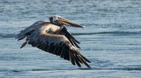 Brun pelikan i flyg Royaltyfri Fotografi