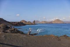 Brun pelikan i Galapagos öar Arkivfoton