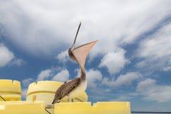 Brun pelikan med den öppna munnen Fotografering för Bildbyråer