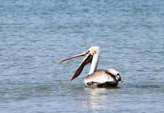 Brun pelikan med den öppna näbb Arkivbilder
