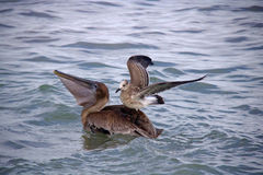 Brun pelikan med fiskmåspassageraren royaltyfria bilder