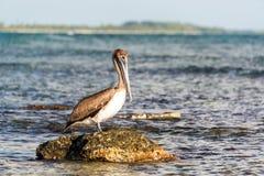Brun pelikan på en vagga Arkivbilder