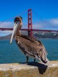 Brun pelikan på pir med Golden Gate royaltyfria foton