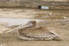 Brun pelikan på torpedhamnplatsen i San Francisco Bay - 1 Arkivfoto