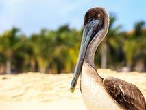 Brun pelikan på den mexikanska stranden Arkivfoton