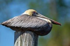 Brun pelikan, Pelecanusoccidentalis Royaltyfri Fotografi