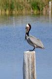 Brun pelikan (Pelecanusoccidentalis) Arkivbilder
