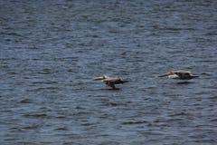 Brun pelikan (pelecanusoccidentalis) Arkivbild