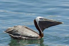 Brun pelikan (pelecanusoccidentalis) Arkivfoto