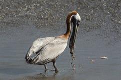 Brun pelikan (pelecanusoccidentalis) Royaltyfria Bilder
