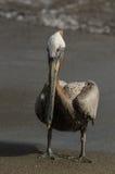 Brun pelikan (pelecanusoccidentalis) Royaltyfria Foton