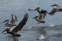 Brun pelikan (pelecanusoccidentalis) Fotografering för Bildbyråer