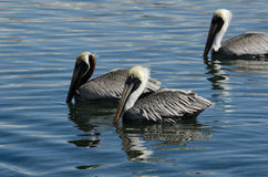 Brun pelikan (pelecanusoccidentalis) Royaltyfri Bild