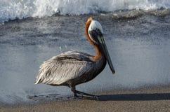 Brun pelikan (pelecanusoccidentalis) Arkivfoton