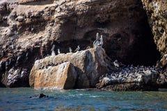 Brun pelikan, Pelecanusoccidentalis, isla de Ballestas, Peru Arkivbild