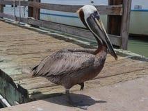 Brun pelikan, Pelecanusoccidentalis, på en träbrygga, Galveston hamn, Texas, Gulf Coast, Amerikas förenta stater arkivfoton