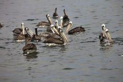 Brun pelikan, Pelecanusoccidentalis, Paracas - Peru Royaltyfria Bilder