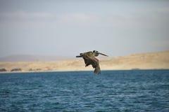 Brun pelikan, Pelecanusoccidentalis, Paracas - Peru Arkivbilder