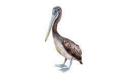 Brun pelikan, Pelecanusoccidentalis, Trujillo Royaltyfri Foto