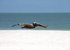 Brun pelikan (Pelicanus occidentalis) Arkivfoton