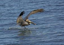 Brun pelikan (Pelicanus occidentalis) Arkivbild