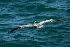 Brun pelikan som flyger över vatten i golfen av Mexico i Florida Royaltyfria Foton