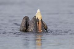 Brun pelikan som matar i en lagun - St Petersburg, Florida Arkivbilder